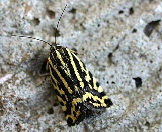 <i>Emmelia trabealis</i> Species of moth