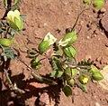 Emmenanthe penduliflora 3.jpg