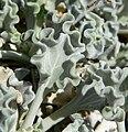 Enceliopsis nudicaulis var corrugata 4.jpg