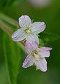 Epilobium tetragonum flower, kantige basterdwederik bloemen.jpg