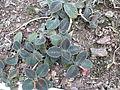 Episcia cupreata-plant.JPG