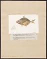 Equula dussumieri - 1700-1880 - Print - Iconographia Zoologica - Special Collections University of Amsterdam - UBA01 IZ13500519.tif
