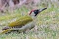 Erdspecht, Grasspecht (32652506614).jpg