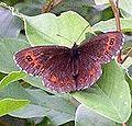 Erebia ligea (small).jpg