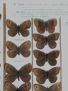 de Prunner's ringlet species of insect