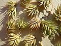 Eremopyrum triticeum (6180953949).jpg