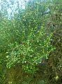 Erica canaliculata kz1.jpg