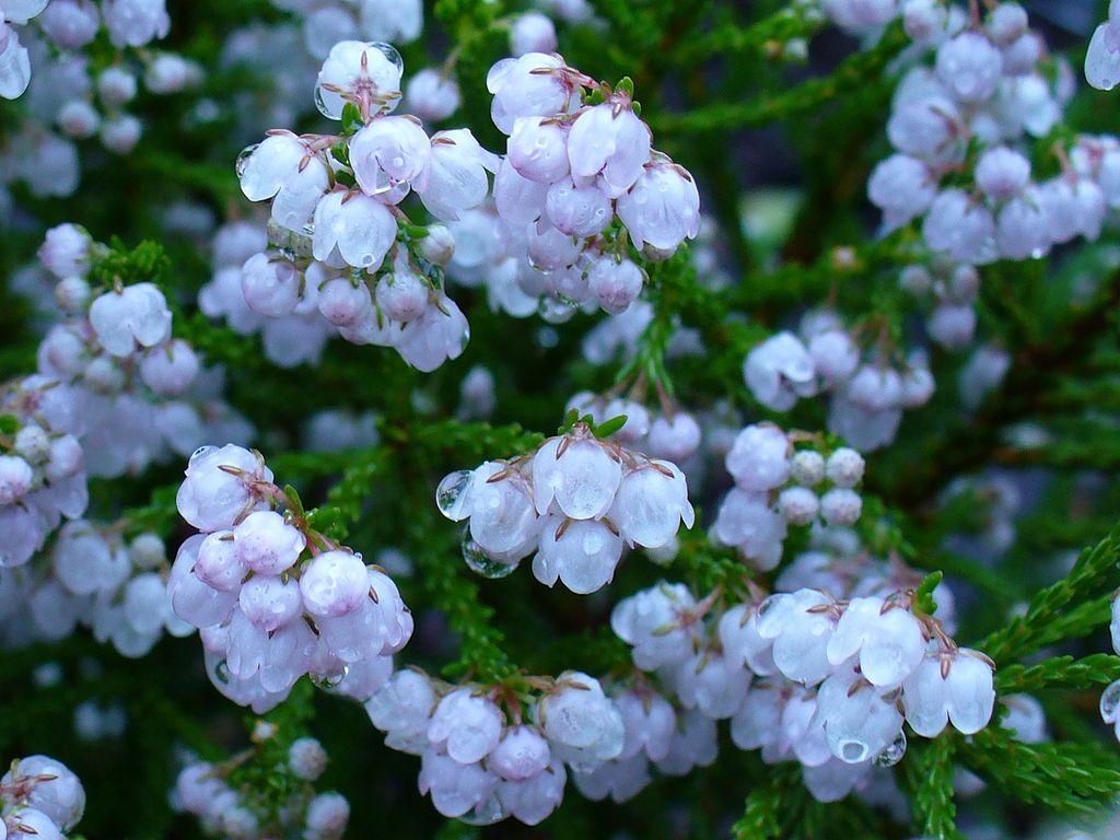 File erica capensis flower jpg wikimedia commons - Plantas de sol directo ...