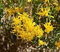 Ericameria laricifolia 6.jpg
