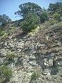 Erigeron karvinskianus DC. (AM AK218586-1).jpg