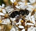 Eristalis arbustorum (female) - Flickr - S. Rae (10).jpg