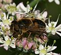 Eristalis pertinax (female) - Flickr - S. Rae (5).jpg