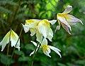 Erythronium helenae 3.jpg