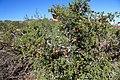 Erythrophysa alata (Sapindaceae) (37367605542).jpg