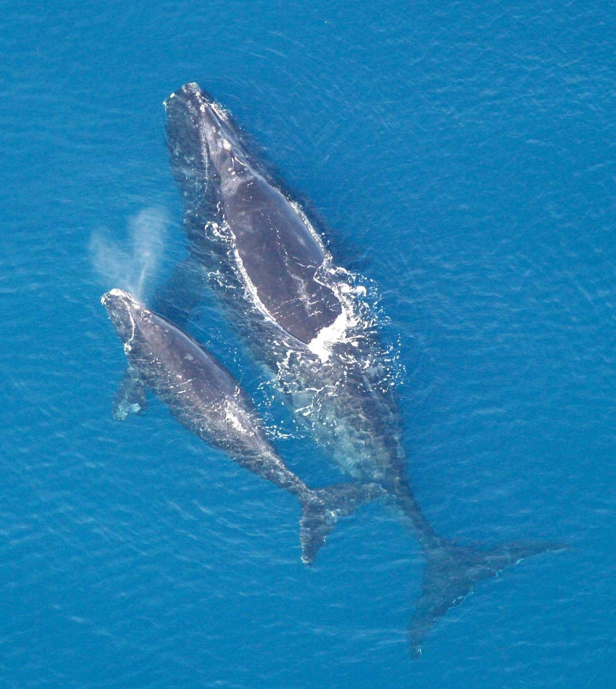 the conservation of north atlantic right whales eubaleena glacialis Conservation actions: the right whale has been protected from hunting by the  iwc and its predecessor since 1935, and.