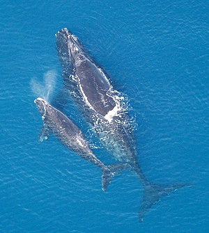 R/K selection theory - A North Atlantic right whale with solitary calf. Whale reproduction follows a K-selection strategy, with few offspring, long gestation, long parental care, and a long period until sexual maturity.