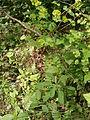 Euphorbia amygdaloides 002.JPG