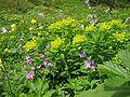 Euphorbia austriaca03.jpg