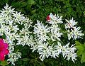 Euphorbia marginata001.jpg