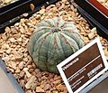 Euphorbia obesa - Stellenbosch University.jpg
