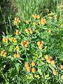 Euphorbia polychroma sl10.jpg