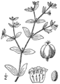 Euphorbia vermiculata BB-1913.png