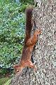 Eurasian Red Squirrel (Sciurus vulgaris) - Oslo, Norway 2020-08-24.jpg