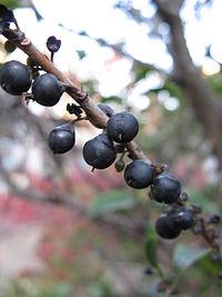 Eurya japonica5