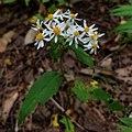 Eurybia divaricata capitulescence.jpg