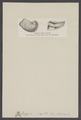Exogyra - Print - Iconographia Zoologica - Special Collections University of Amsterdam - UBAINV0274 005 07 0009.tif