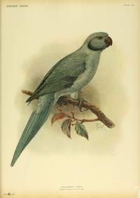 Extinctbirds1907 P19 Palaeornis exsul0319