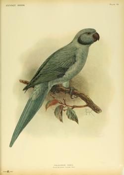 Extinctbirds1907 P19 Palaeornis exsul0319.png