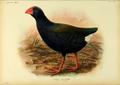 Extinctbirds1907 P34 Notornis hochstetteri0359.png