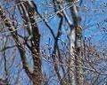 Fagus grandifolia (American Beech) (26486461806).jpg