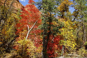 Fall colors in Boynton Canyon.jpg