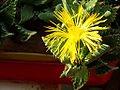 Faucaria-tigrina-flor-detalle.jpg