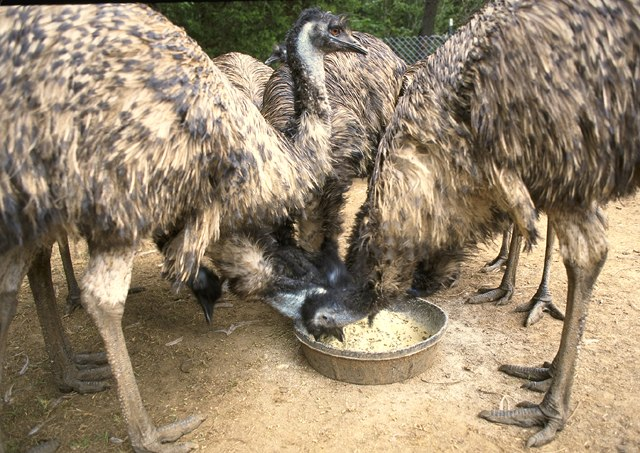 Feeding farmed Emu