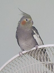 Female Cockatiel.JPG