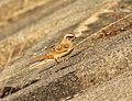 Female Emberiza cioides Japan.jpg