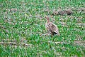Female Ring-necked Pheasant, Frenchman Hills Road.jpg