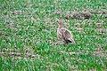 Female Ring-necked Pheasant, Frenchman Hills Road.jpg
