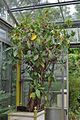 Ficus columnaris in a flower pot.jpg