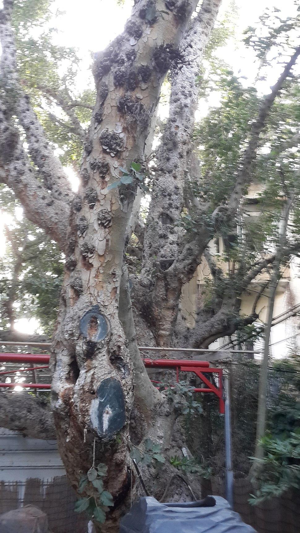 Ficus sycomorus-Mazeh Street, Tel Aviv-Yafo