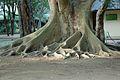 Ficus sycomorus07.jpg