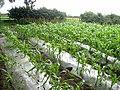 Field of maize near Stamfordham - geograph.org.uk - 905303.jpg