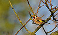 Finally, decent Goldfinch Pic (11551146586).jpg