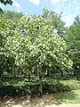 Firmiana simplex - Nagai Botanical Garden - DSC07651.JPG