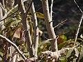 Flacourtia indica (Burm. f.) Merr. (5460405347).jpg