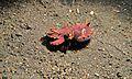 Flamboyant Cuttlefish (Metasepia pfefferi) (6059852304).jpg