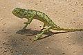 Flap-neck Chameleon (Chamaeleo dilepis) (15971483933).jpg